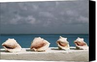 Conch Shells Canvas Prints - Conch Shells Line A Wall Near The Sea Canvas Print by Michael Melford