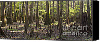 Cypress Knees Canvas Prints - Congaree National Park  Canvas Print by Dustin K Ryan