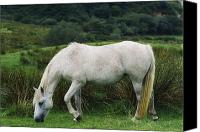 Walked Canvas Prints - Connemara Pony Canvas Print by The Irish Image Collection