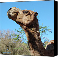 Camel Digital Art Canvas Prints - Contemptuous Camel Canvas Print by DigiArt Diaries by Vicky Browning