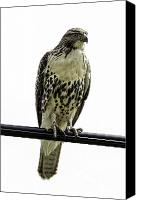 Metamora Canvas Prints - Coopers Hawk Canvas Print by Les Lenchner