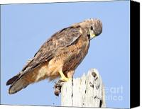 Animals Art Digital Art Canvas Prints - Coopers Hawk With Meal Canvas Print by Animals Art
