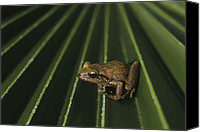 Eleutherodactylus Canvas Prints - Coqui Frogs Invaded The Hawaiian Canvas Print by Melissa Farlow