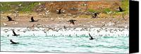Pelicans Canvas Prints - Cormorant Flight in Frenzy Canvas Print by Gus McCrea