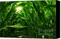 Green Canvas Prints - Corn Field Canvas Print by Carlos Caetano