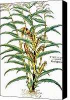 Mays Canvas Prints - Corn (zea Mays), 1542 Canvas Print by Granger