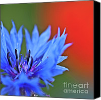 Wild-flower Canvas Prints - Cornflower Canvas Print by Heiko Koehrer-Wagner