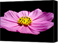 Flora Canvas Prints - Cosmia pink flower Canvas Print by Sumit Mehndiratta