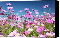 Aster Canvas Prints - Cosmos Flowers Canvas Print by Neil Overy