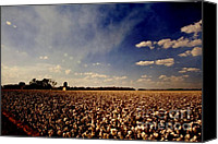 Arkansas Canvas Prints - Cotton Field Canvas Print by Scott Pellegrin