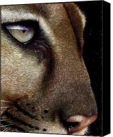 Jurek Zamoyski Canvas Prints - Cougar Canvas Print by Jurek Zamoyski