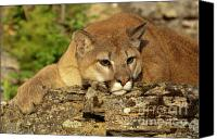 Mountain Lion Canvas Prints - Cougar on Lichen Rock Canvas Print by Sandra Bronstein