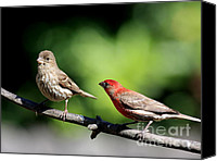 Finches Canvas Prints - Courtship In Nature . 40D8073 Canvas Print by Wingsdomain Art and Photography