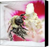 Bumblebees Canvas Prints - Covered in Pollen Canvas Print by David Hahn