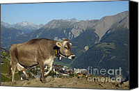 Alp Canvas Prints - Cow in the mountains Canvas Print by Matthias Hauser