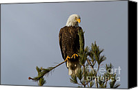 Bald Eagle Canvas Prints - Coy Canvas Print by Reflective Moments  Photography and Digital Art Images