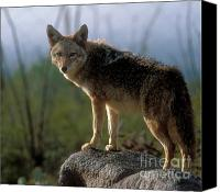 North American Wildlife Canvas Prints - Coyote in Ocotillo Trees Canvas Print by Sandra Bronstein