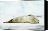 Seal Canvas Prints - Crabeater Seal (lobodon Carcinophaga) Canvas Print by Elliott Neep