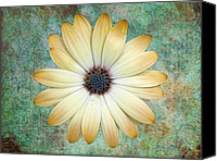 Aster Canvas Prints - Cream Coloured Daisy Canvas Print by Chris Thaxter