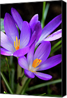 Pink Flower Canvas Prints - Crocus Flower Canvas Print by Andrew Dernie