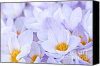 Flower Blooming Canvas Prints - Crocus flowers Canvas Print by Elena Elisseeva