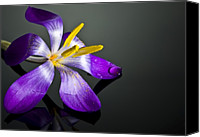Crocus Canvas Prints - Crocus Canvas Print by Svetlana Sewell