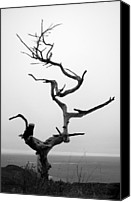 Headlands Canvas Prints - Crooked Tree Canvas Print by Matt Hanson