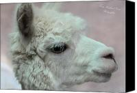 Camelid Canvas Prints - Crystal Canvas Print by Terry Kirkland Cook