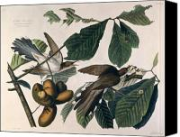William Drawings Canvas Prints - Cuckoo Canvas Print by John James Audubon