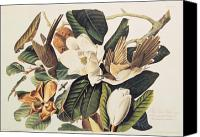 Ornithology Canvas Prints - Cuckoo on Magnolia Grandiflora Canvas Print by John James Audubon