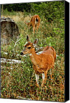 British Columbia Canvas Prints - Curious Fawn In Grassy Meadow Canvas Print by Christopher Kimmel