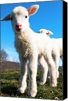 Animal Photo Canvas Prints - Curious Lambs Canvas Print by Thomas R. Fletcher