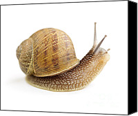 Moving Canvas Prints - Curious snail Canvas Print by Elena Elisseeva