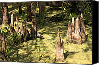 Cypress Knees Canvas Prints - Cypress Knees in Green Swamp Canvas Print by Carol Groenen