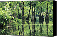 Cypress Knees Canvas Prints - Cypress Trees Cross A Waterway Canvas Print by Medford Taylor
