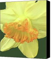 Lovely Looking Flower Mixed Media Canvas Prints - Daffodil Down Canvas Print by Debra     Vatalaro