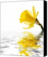 Botanic Canvas Prints - Daffodil reflected Canvas Print by Jane Rix