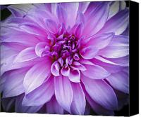 Flower Photograph Canvas Prints - Dahlia Dahling Canvas Print by Christi Kraft