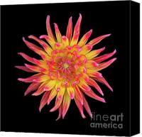 Archival Canvas Prints - Dahlia Two Canvas Print by Christopher Gruver