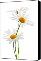 Summertime Canvas Prints - Daisies on white background Canvas Print by Elena Elisseeva