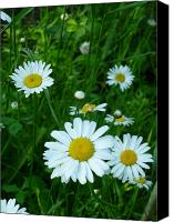 Sue Jenkins Canvas Prints - Daisies Canvas Print by Sue Jenkins