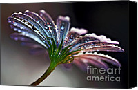 White Daisy Canvas Prints - Daisy Abstract with Droplets Canvas Print by Kaye Menner