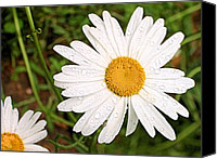Margaret Canvas Prints - Daisy Freshness Canvas Print by Kristin Elmquist