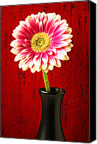 Chrysanthemums  Canvas Prints - Daisy in black vase Canvas Print by Garry Gay