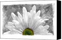 Daisies Pyrography Canvas Prints - Daisy Canvas Print by Mauro Celotti