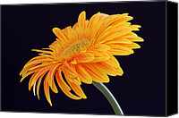 Gerber Canvas Prints - Daisy of Joy Canvas Print by Juergen Roth