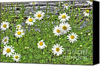 Wild-flower Canvas Prints - Daisy Patch Canvas Print by Benanne Stiens
