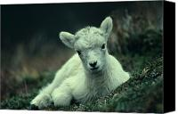 Sheep Photo Canvas Prints - Dall Sheep Lamb Resting Canvas Print by Michael S. Quinton