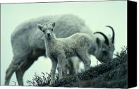 Sheep Photo Canvas Prints - Dalls Sheep Lamb And Ewe Canvas Print by Michael S. Quinton