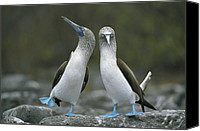 Galapagos Islands Canvas Prints - Dancing Blue-footed Boobies Canvas Print by Tui de Roy
